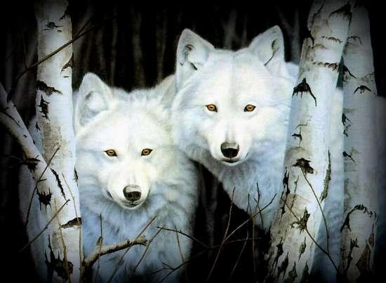 Картина по номерам 40x50 Два белых волка среди берез